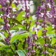 About Tulsi: Queen of the Herbs